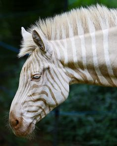 Zebra  Zoe in Hawaii. Blonde with blue eyes. Every now and then a zebra like this is born but without camouflage they do not survive other predators.