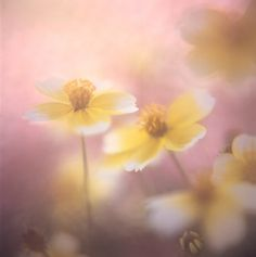 soft pink and yellow flowers