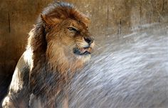 A lion is given a cooling shower as temperatures rise at a zoological park in the Indian city of Jamshedpur