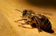 The Center for Resolving Human-Wildlife Conflicts at Mississippi State University finds resolutions for these conflicts, through research, education and outreach. Bee Keeping, Wildlife, Animals, Honey Bees, Nature, Ideas, Insects, Wild Animals, Honey