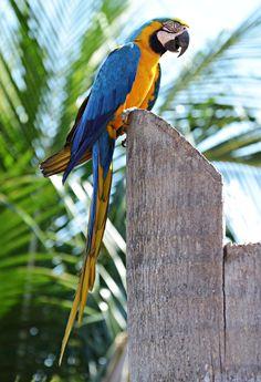 Charm Bracelet - blue/yellow macaw bracele by VIDA VIDA uWCRbKwDI