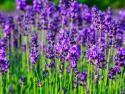 Jak pěstovat levanduli levandule, lékařská, Lavandula, angustifolia, vonné, keře, bylinky, byliny, léčivky, Co je klíčové pro bohaté kvetení levandulí? Jak levandule správně ostříhat?