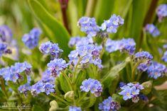 Terassenpflanzen für Töpfe und Kübel auf der Terasse Hier: Vergissmeinnicht
