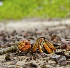 Hermit crabs are scavengers by nature -- so when you're feeding them, almost any **healthy** food is worth trying.