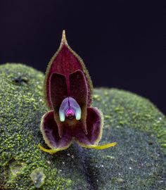 Miniature-orchid / Micro-orquidea: Flower-detail of Lepanthes manabina - Flickr - Photo Sharing!