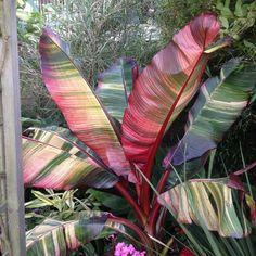 Maurelli Aurea variegata