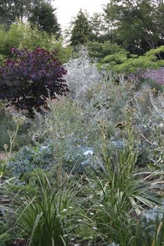 Early summer, with Cercis canadensis 'Forest Pansy', Salix exigua at the rear and various others including a tall form of Eryngium agavoides in the foreground