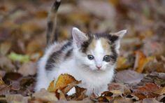 Walk through autumn leaves♥ - Cats Wallpaper 1176518 - Desktop Nexus Animals