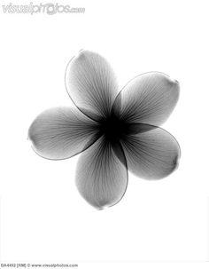 X-ray of a plumeria flower. (X-ray of a plumeria flower.)
