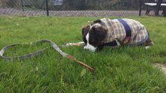 #wilcothedog loves his #bakerblanket! #bakerdog #bakerbarndog #barndog #dogsofpinterest
