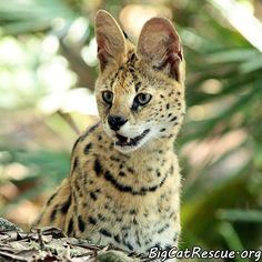 Ginger Serval is always so expressive.  I  just love her expressions.