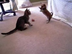 Kitten and Duke are the same age, and they love to play together. I love Chihuahua's and cats