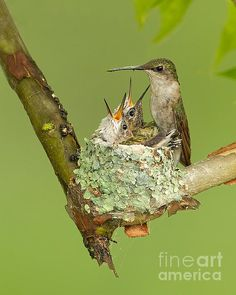 A Ruby-throated Hummingbird nest that I was fortunate to be able to photograph. The nest itself, is made out of lichen and spider webs. Hummingbird Nests, Hummingbird Tattoo, Hummingbird Pictures, Reptiles, Mammals, Pretty Birds, Beautiful Birds, Ruby Throated Hummingbird, Colorful Birds