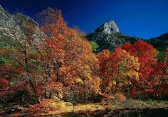 Fall foliage and cliffs, McKittrick Canyon. Guadalupe Mountains National Park, Texas, USA.
