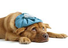 Gusanos intestinales: El Toxocara canis