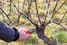 Nie je to až také zložité, ako by sa mohlo zdať - Záhrada. Grape Vines, Garden Tools, Pergola, Gardening, Magazine, Flowers, Ideas, Lawn And Garden, Vineyard Vines