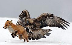Top 10 Photographs of Animals Fighting Animals