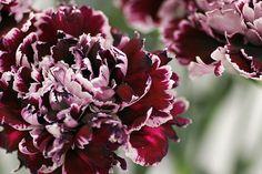 Minerva Carnation