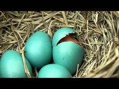 Baby Bird Hatching VIDEO (8 min long)  -  For More Information on the care of hatchlings see [ http://www.snopes.com/critters/wild/babybird.asp ]