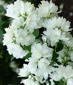 Shrubs - Anime Line White Gardens, Farm Gardens, Small Gardens, Love Flowers, White Flowers, Beautiful Flowers, Trees And Shrubs, Trees To Plant, Flowers Perennials
