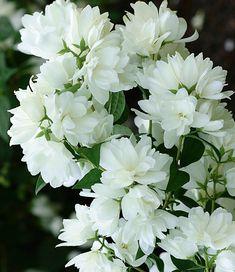 1000 images about jasmijn bloemen on pinterest bloemen birch branches and gardenias. Black Bedroom Furniture Sets. Home Design Ideas