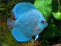 Diamond blue Discus .jpg 1,024×768 pixels