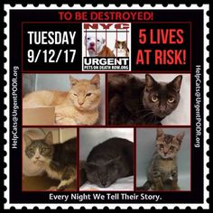 "TO BE DESTROYED 9/12/17 - - Info  Please share View tonight's list here: http://nyccats.urgentpodr.org/tbd-cats-page/. The shelter closes at 8pm. Go to the ACC website( http:/www.nycacc.org/PublicAtRisk.htm) ASAP to adopt a PUBLIC LIST cat (noted with a ""P"" on their profile) and/or … CLICK HERE FOR ADDITIONAL…Please…Please...-  Click for info & Current Status: http://nyccats.urgentpodr.org/to-be-destroyed-32017/"
