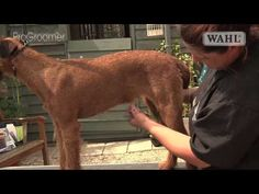 Grooming Guide - Irish Terrier - Handstripped - Pro Groomer - YouTube