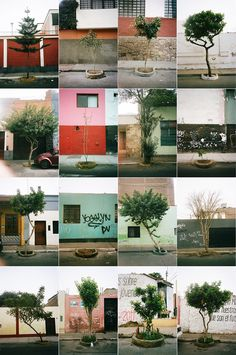 Typology of trees in Lima, Peru. Photography by Patrick Gookin.