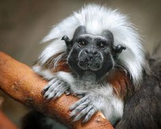 The cotton-headed tamarin - sadly a critically endangered Species. One of South America's most endangered primates, the cotton-headed Tamarin is found only in Colombia where it lives in tropical rainforests and dry deciduous forests. Primates, Mammals, Curious Creatures, All Gods Creatures, Rare Animals, Funny Animals, Exotic Animals, Unusual Animals, Magnificent Beasts