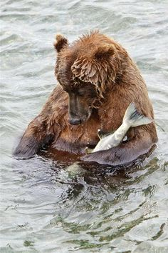 """Photo byRick Sheremeta, National Geographic. """"I spent four days observing and photographing Brown Bears. The bears routine became pretty obvious - they'd fish for a while until their bellies were full, then they'd wander off into the grass for a little nap. This ole gal never quite got that far - after snaring this salmon, she wandered into a shallow pool at the side of the river, cradled the fish under her arm, and promptly nodded off."""""""