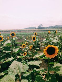 sunflower farm at Guanica, Puerto Rico
