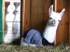 Llama in pajamas!