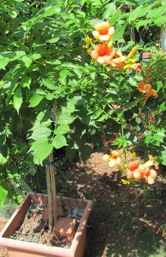 Russell Studebaker: Indian Summer trumpet vine great container plant