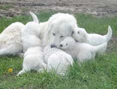 Patou des Pyrénées & pupps: I just visited a farm in the mountains and look what I found! I held one fluffy puppy in my arms and fell in love. Why do they have to grow so big! Maremma Dog, Maremma Sheepdog, Baby Puppies, Baby Dogs, Dogs And Puppies, Doggies, Sheep Dogs, Animals And Pets, Baby Animals