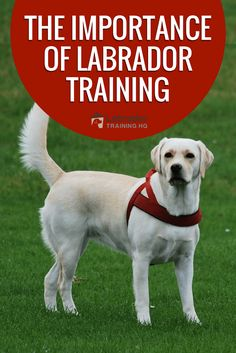The importance of training is the quality of life you and your Labrador enjoy, depends entirely on the success you achieve in training your Lab. Labrador Retriever Negro, Chocolate Labrador Retriever, Retriever Puppies, Labrador Retrievers, Labrador Facts, Labrador Puppies, Havanese Dogs, Puppies Puppies, Pet Dogs