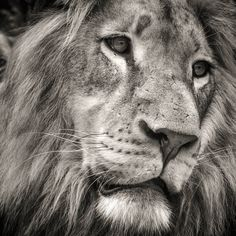 We can't get enough of this King of the Jungle. Why not have him printed on 5mm thick Acrylic for a high quality yet stylish finish. Now with 20% off. SPRING20