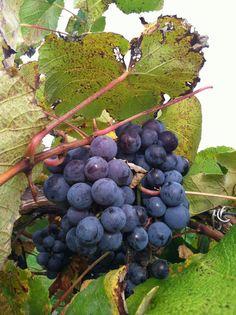 Grape Mostarda | What Julia Ate