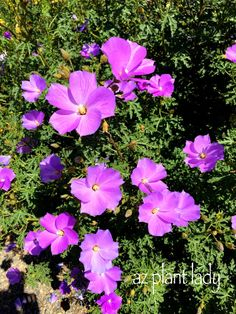 RAMBLINGS FROM A DESERT GARDEN....: Fuss-Free Purple-Flowering Beauty