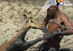 Homem mergulha na lama pra resgatar antílope: Vídeo  Só Notícia Boa