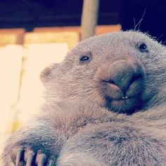 """…DOESN'T MEAN WOMBATS STOP BEING SO DANG CUTE! 