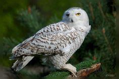Snowy owl,Astur