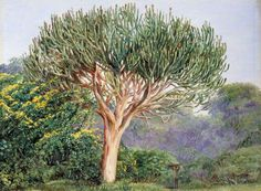 A Tree Euphorbia, Natal by Marianne North; c. 1882; Oil on board; Collection: Royal Botanic Gardens, Kew, England