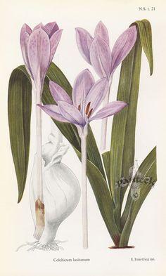 Colchicum lusitanum from the William Curtis Botanical magazine series
