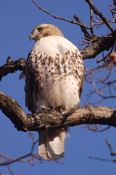 Red Tailed Hawk- These are in my back yard scoping out my bird feeders from high up in a tree - cafeteria for them! They love pigeons!!