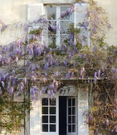 wisteria blooming and fragrant