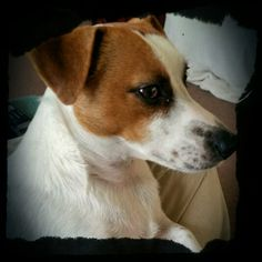 If a dog is a man's best friend,  then Turbo is surely mine ... the love of a JRT is unbelievable! !