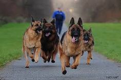 Image result for Running Dogs images
