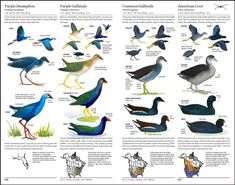 Sibley-SwamphenGallinulesCoot