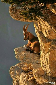 Pakistan national animal Markhor, Hunza valley Gilgit Baltistan Pakistan